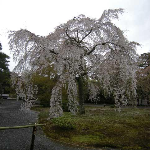 Sumizomesakura